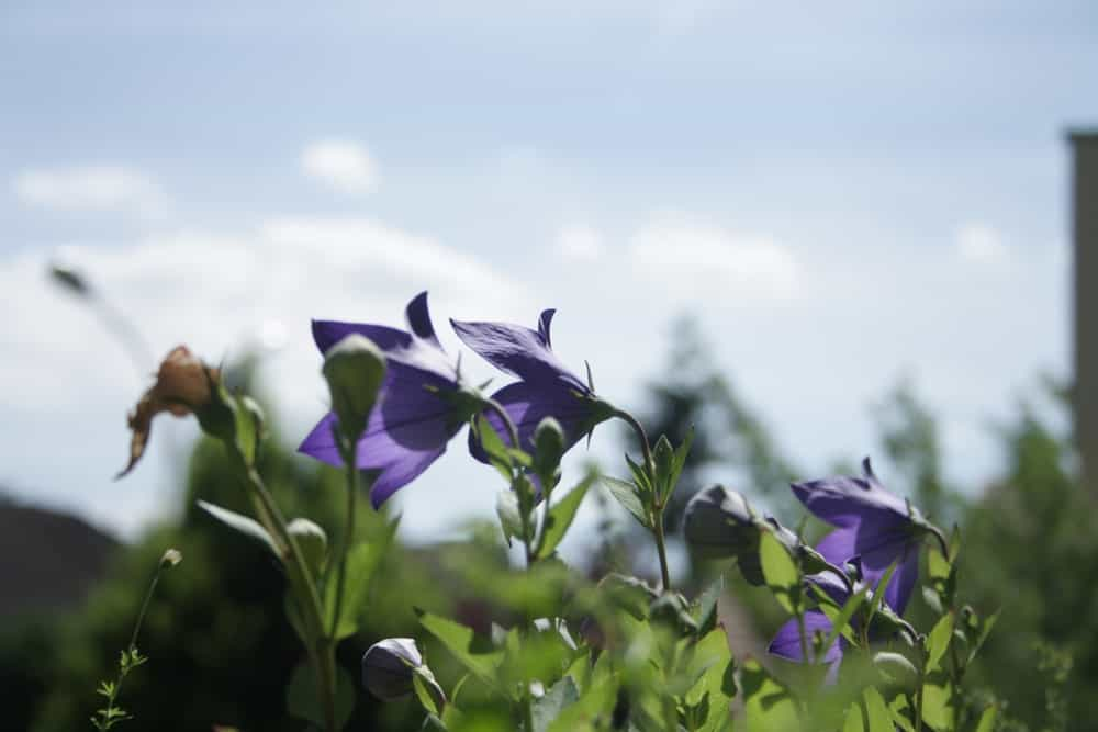 'Sentimental blue' flowers