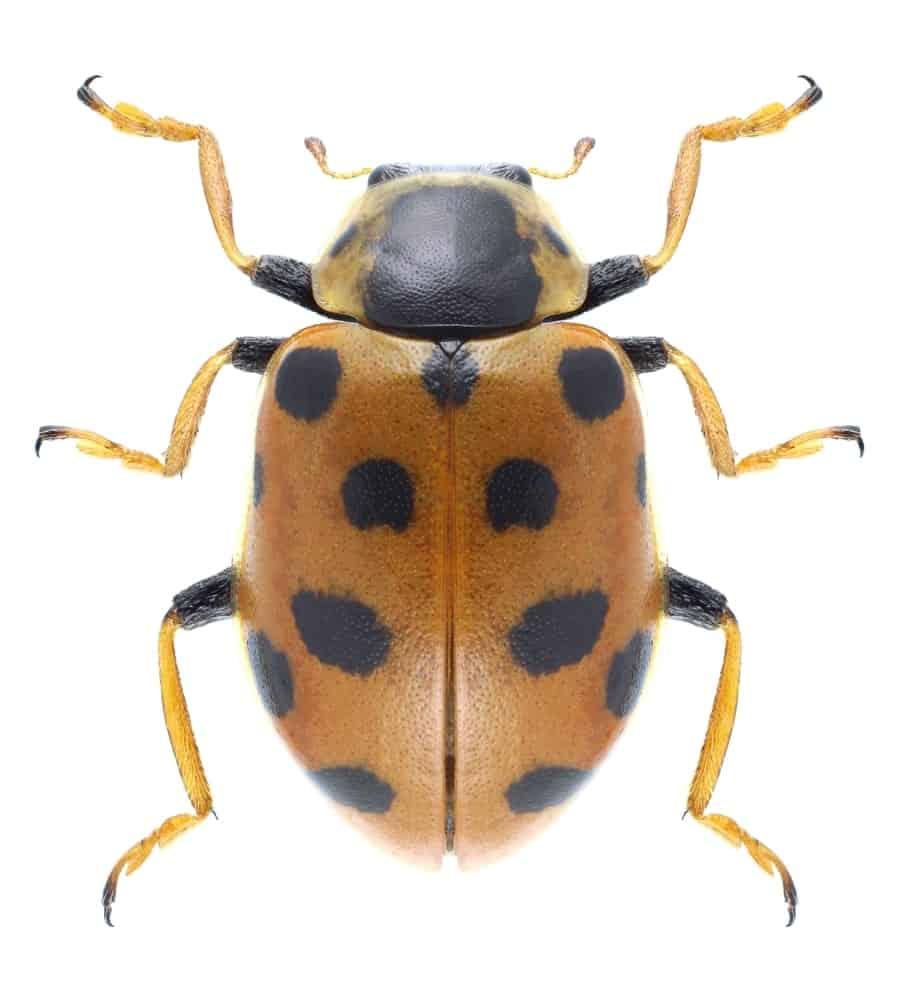 Hippodamia Tredecimpunctata