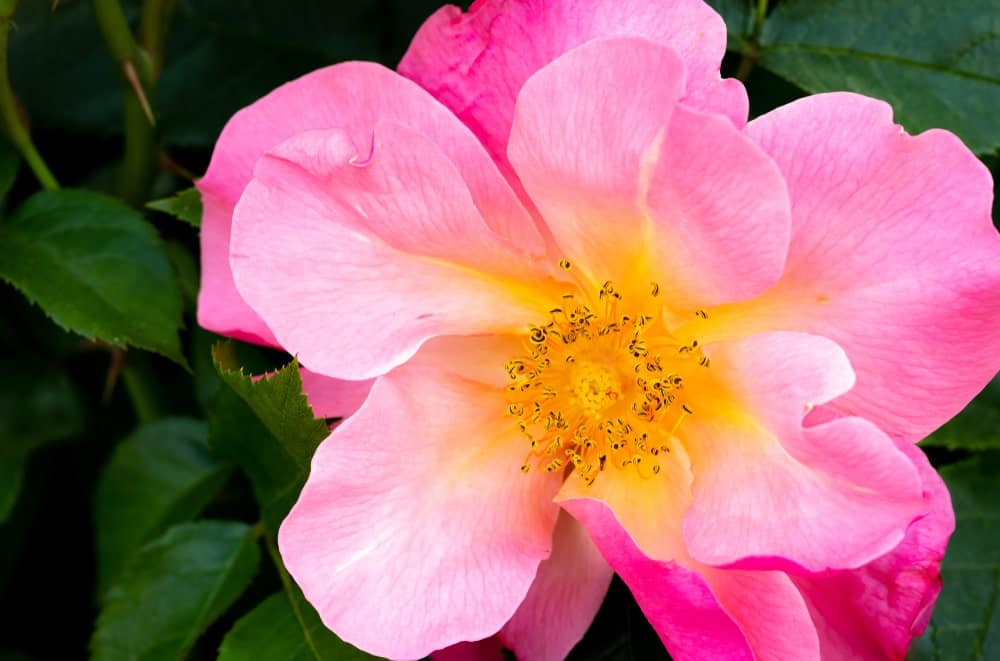 Hybrid Boxwood Flower