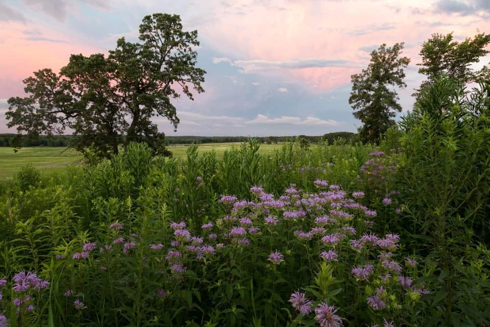 Meadow full of purplish Bee Balm