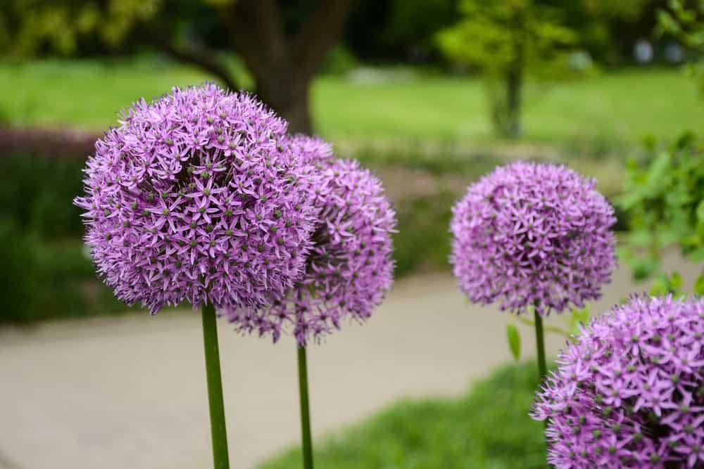 Cristophii flowers