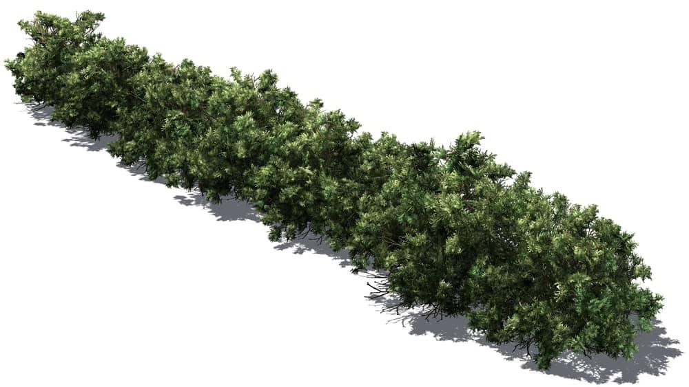 American boxwood bush
