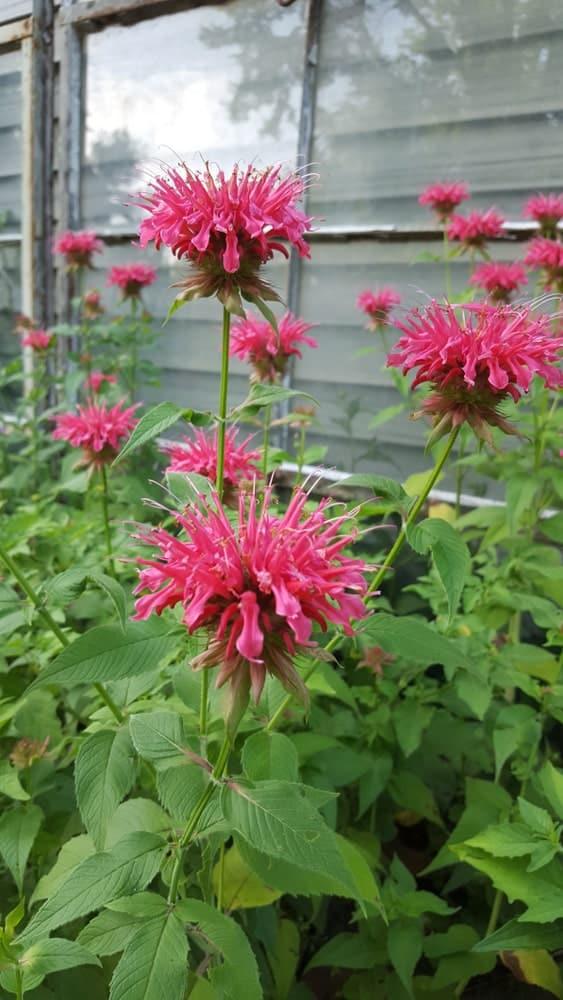 Growing Bee Balm flowers