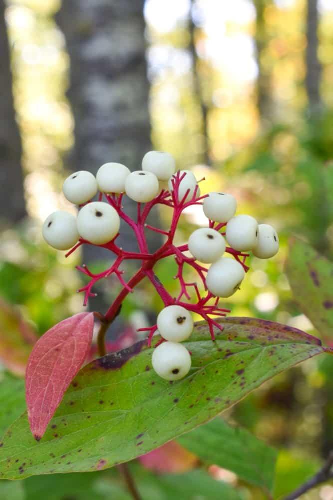 White Doll's Eyes baneberries