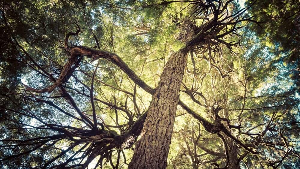 Branches of a Hemlock Tree in a Forest