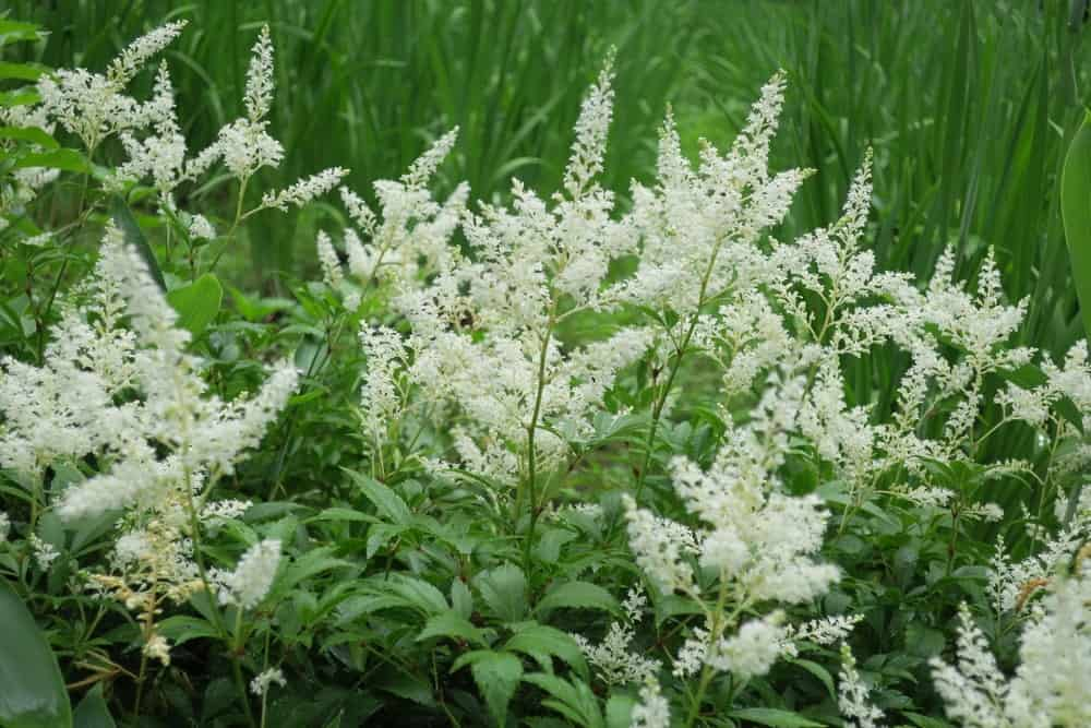 Astilbe x arendsii flowers