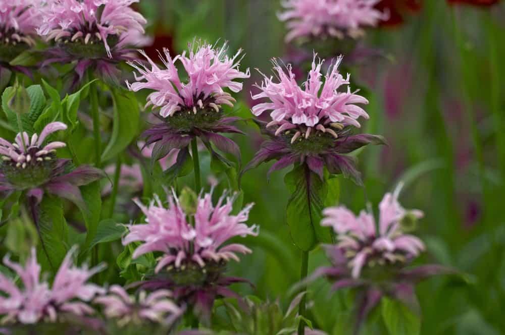 Beauty of Cobham cultivar