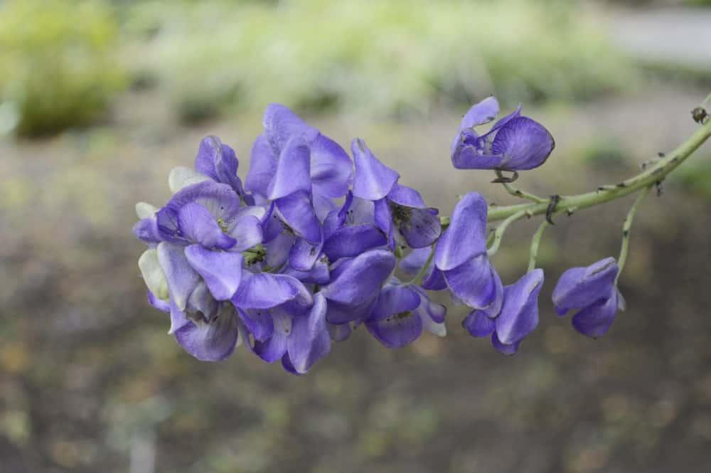Aconitum carmichaelii