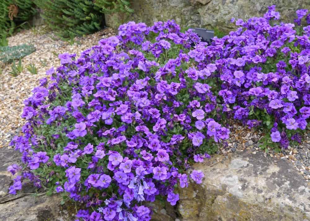 Campbelli Flowers