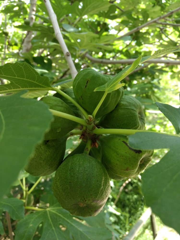 Caprifigs fruit