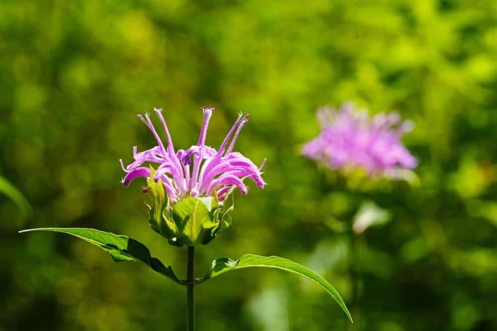 A single violet queen bee balm flower