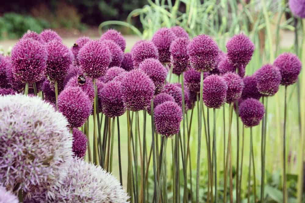Drumstick allium flowers