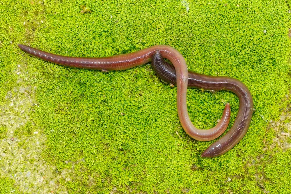 Two earthworms on grass
