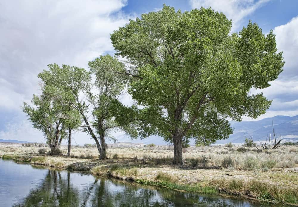 Eastern cottonwood tree by a river