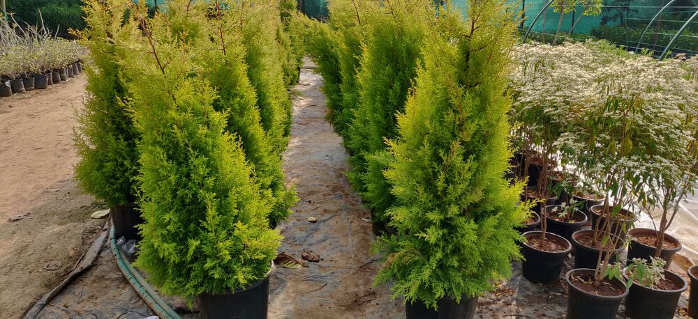Emerald Green Arborvitae in pots.
