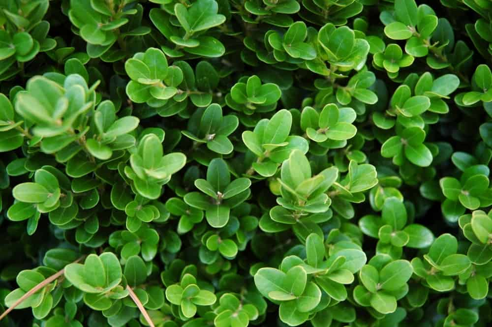 English Boxwood Bush