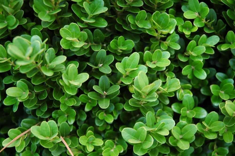 English Boxwood Bush