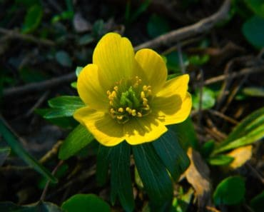 A yellow winter aconite blooming in spring
