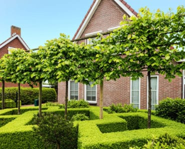 Fabulous boxwood hedge in front yard