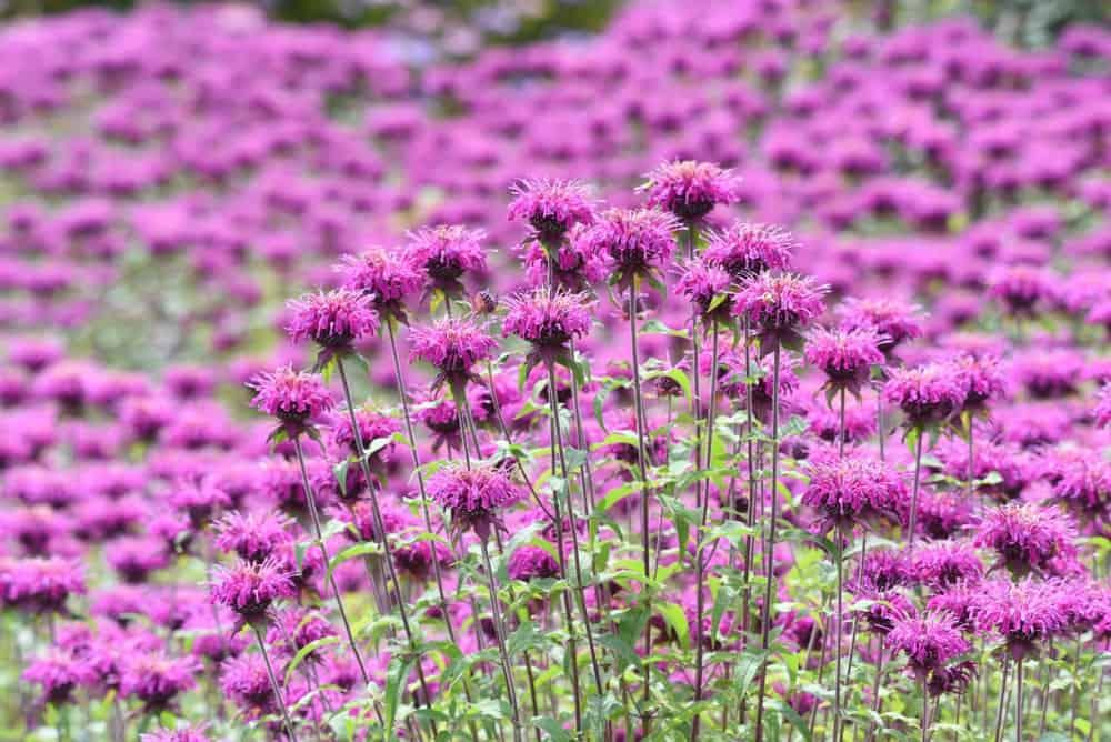 Magenta Bee Balm flowers