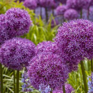 Giant allium flowers