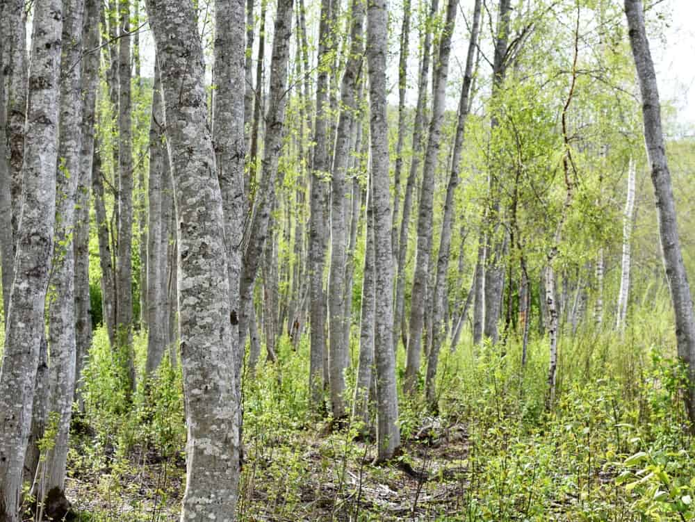 Green Alder trees in a forest