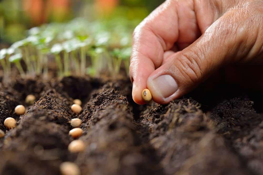 Seed for poplar tree
