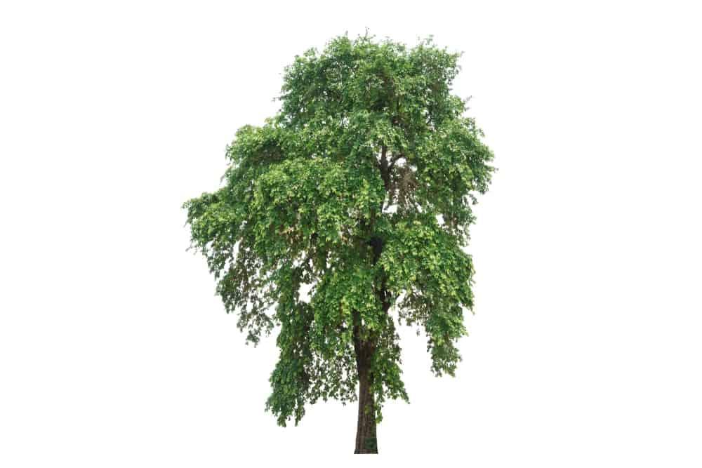 Isolated ebony tree