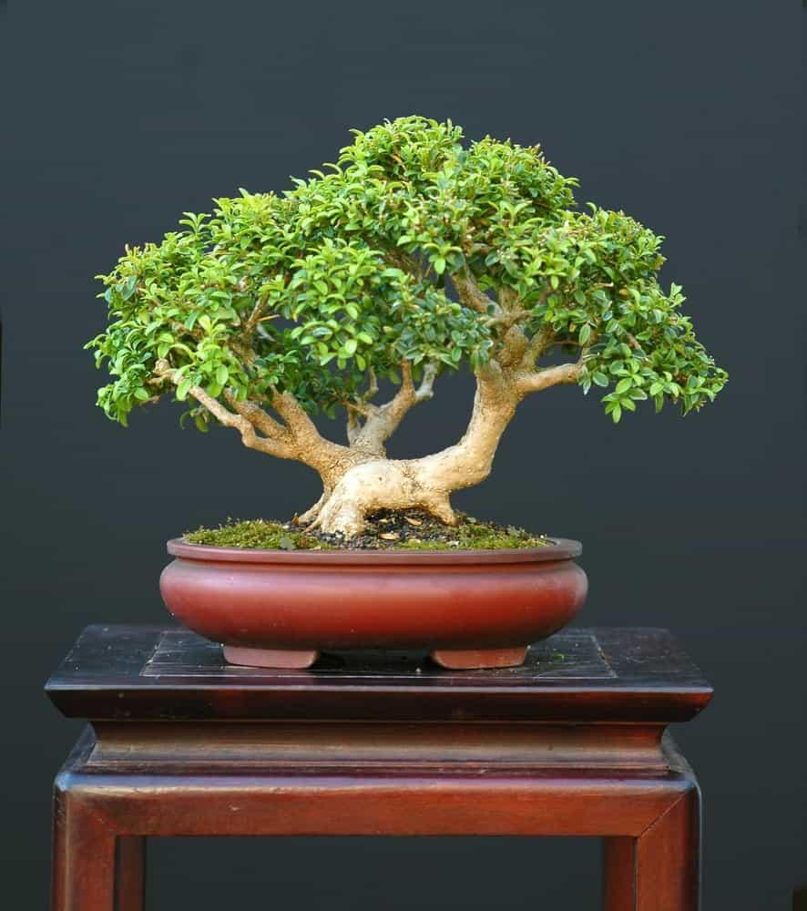 Korean Boxwood in a pot