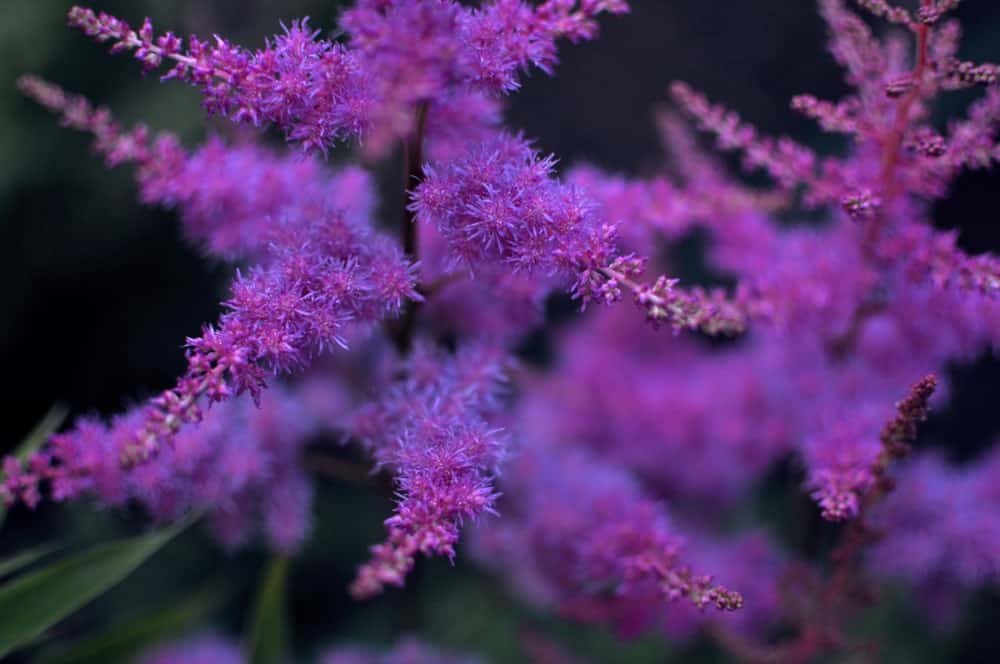 Purple Astilbe flowers