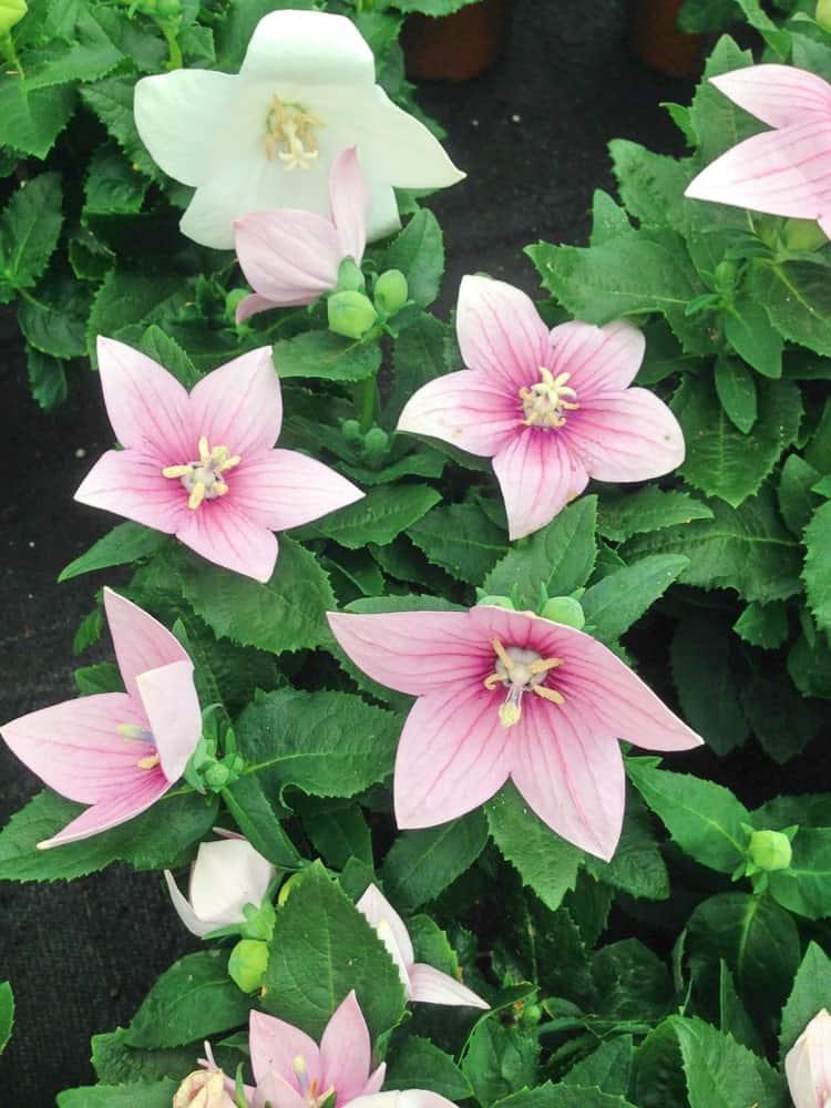 Light pink Platycodon Grandiflorus flower