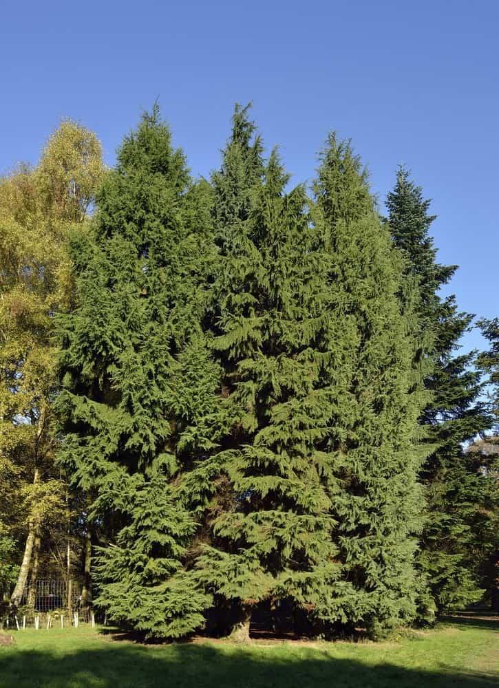 Big Mountain Hemlock Tree