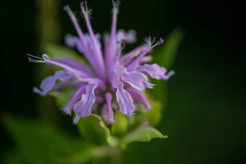 Purple bergamot flower
