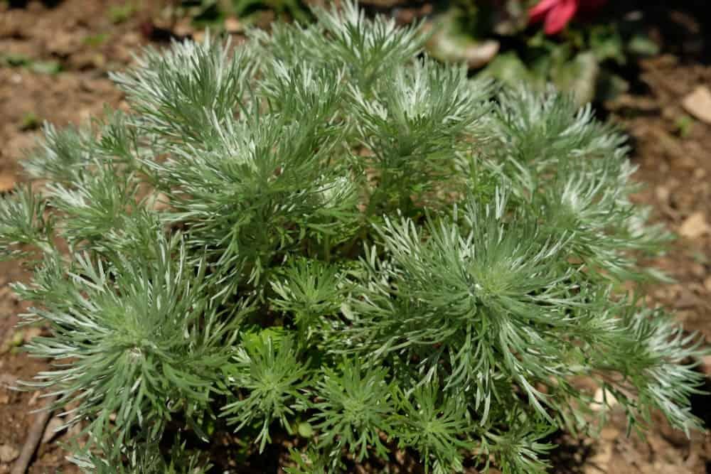 Silver Mound plant