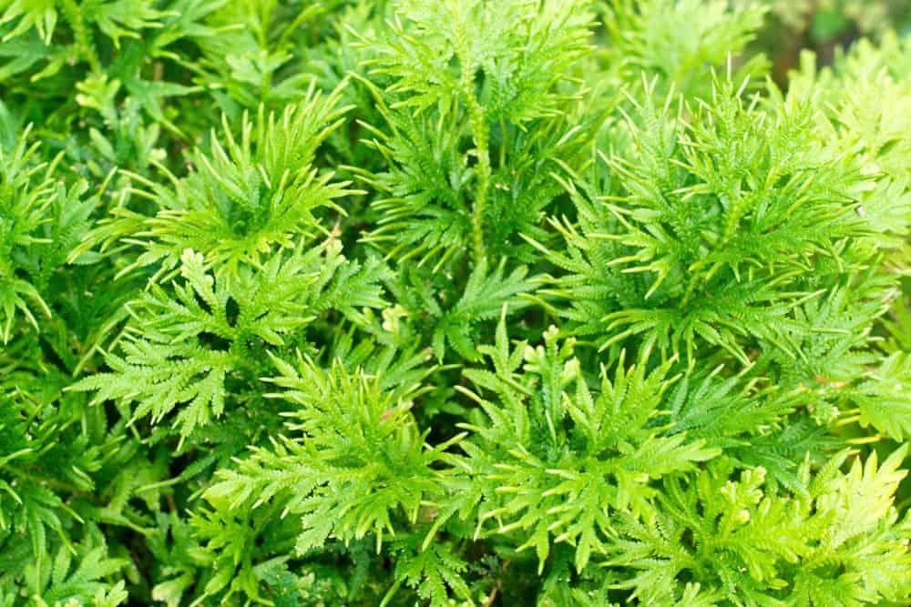 Southernwood Artemisia foliage