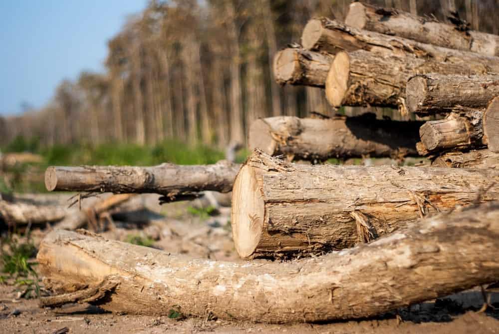 Teakwood logs in Thailand