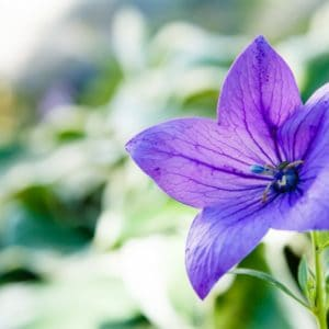 A purple balloon flower blooming in the garden