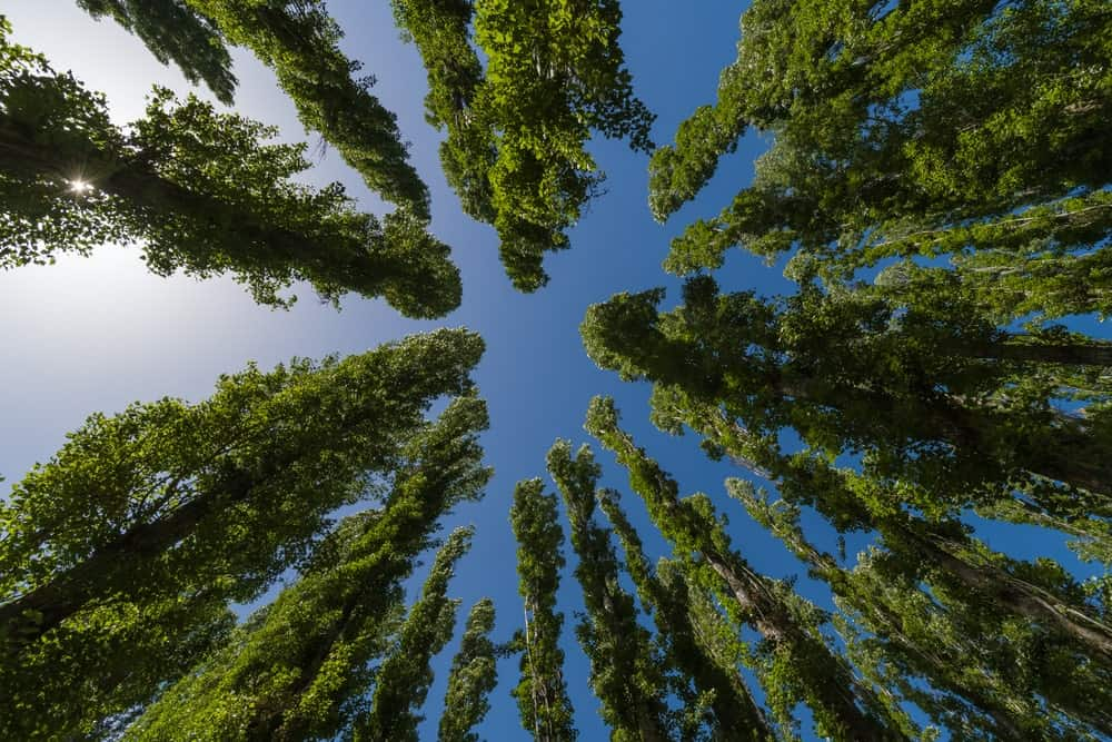 Poplar trees as seen from the ground.