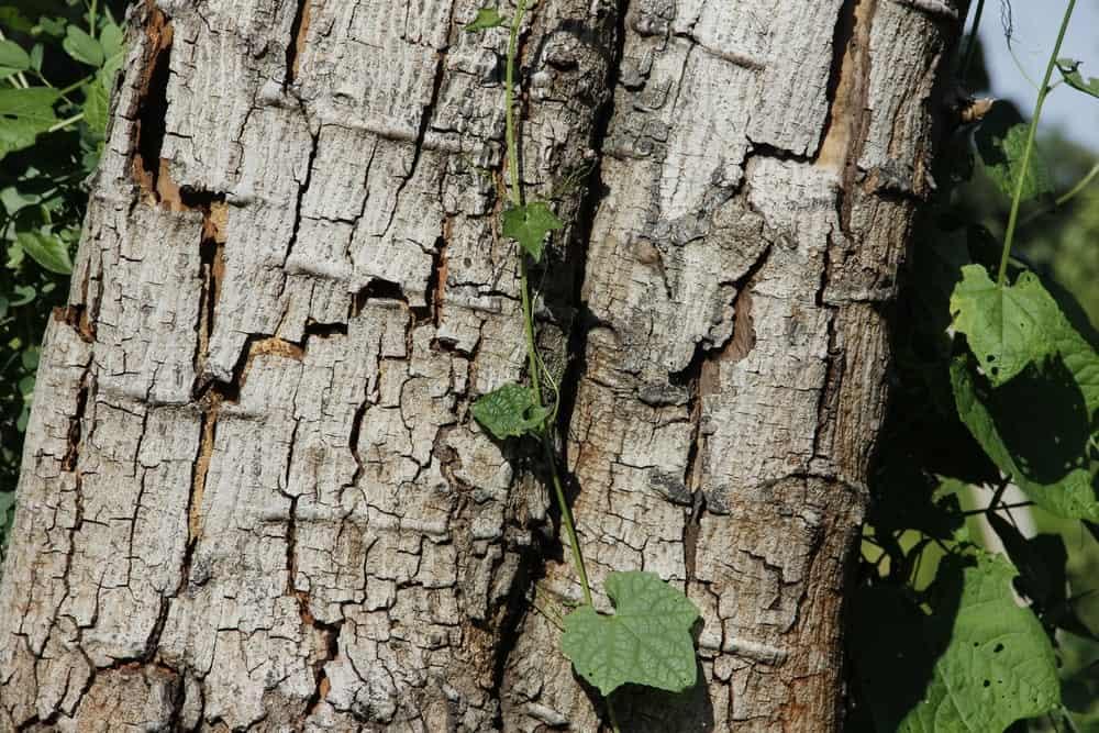 Surface of an ebony tree wood.