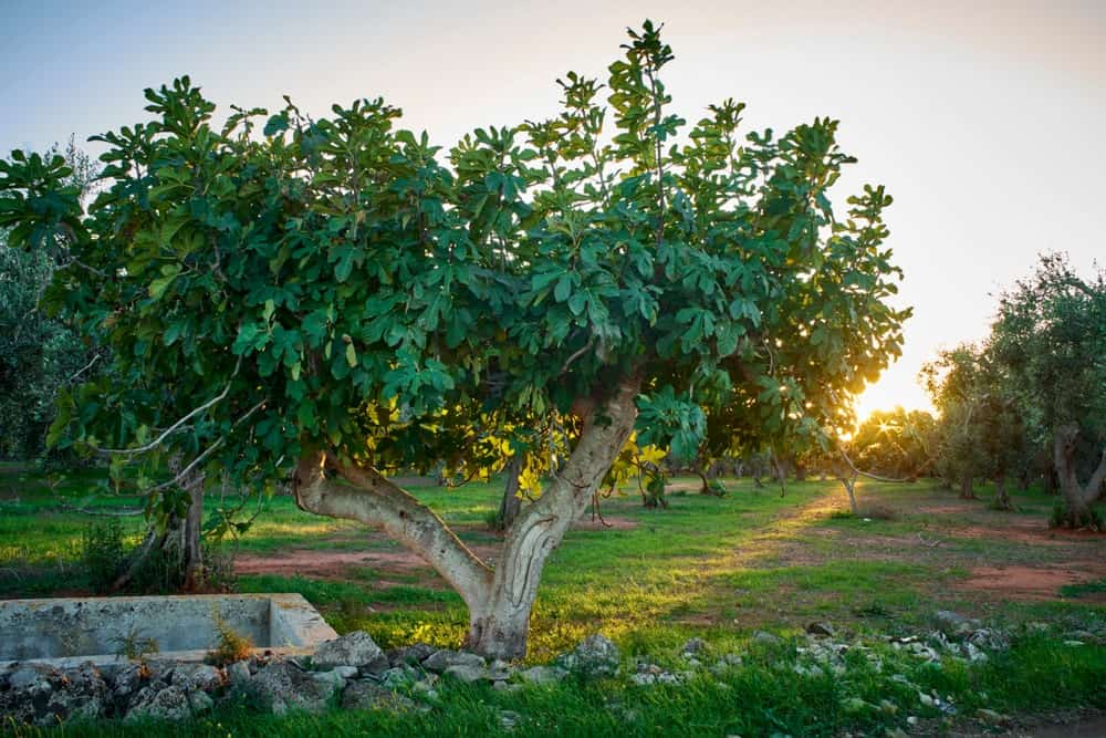 11 Diffe Types Of Fig Trees