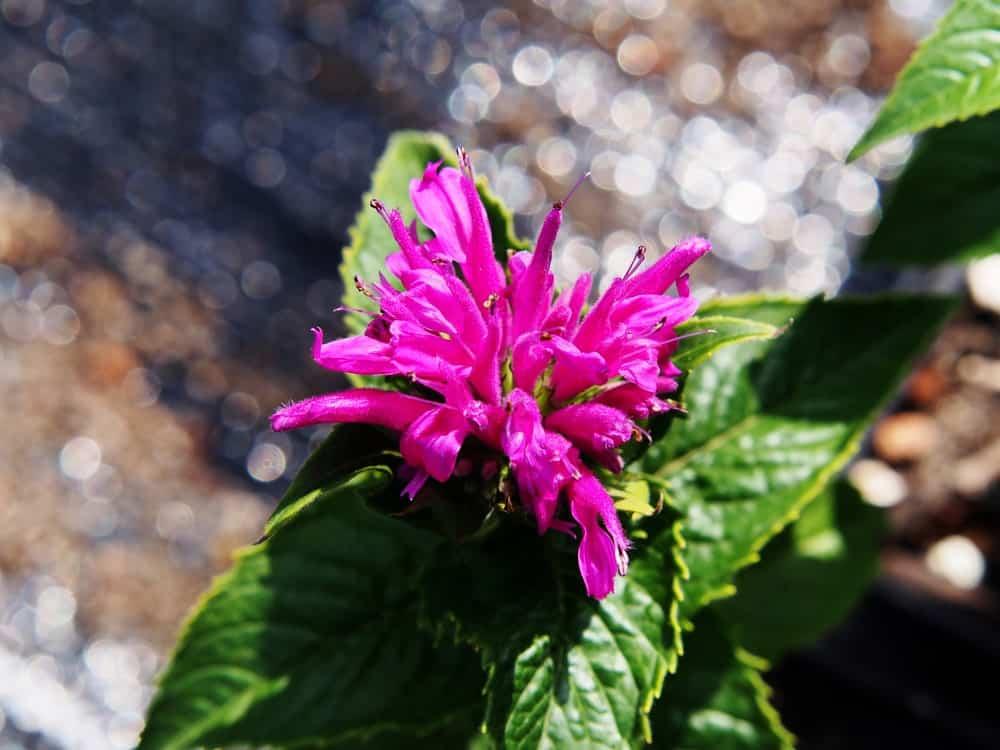 The Talud cultivar of Bee Balm
