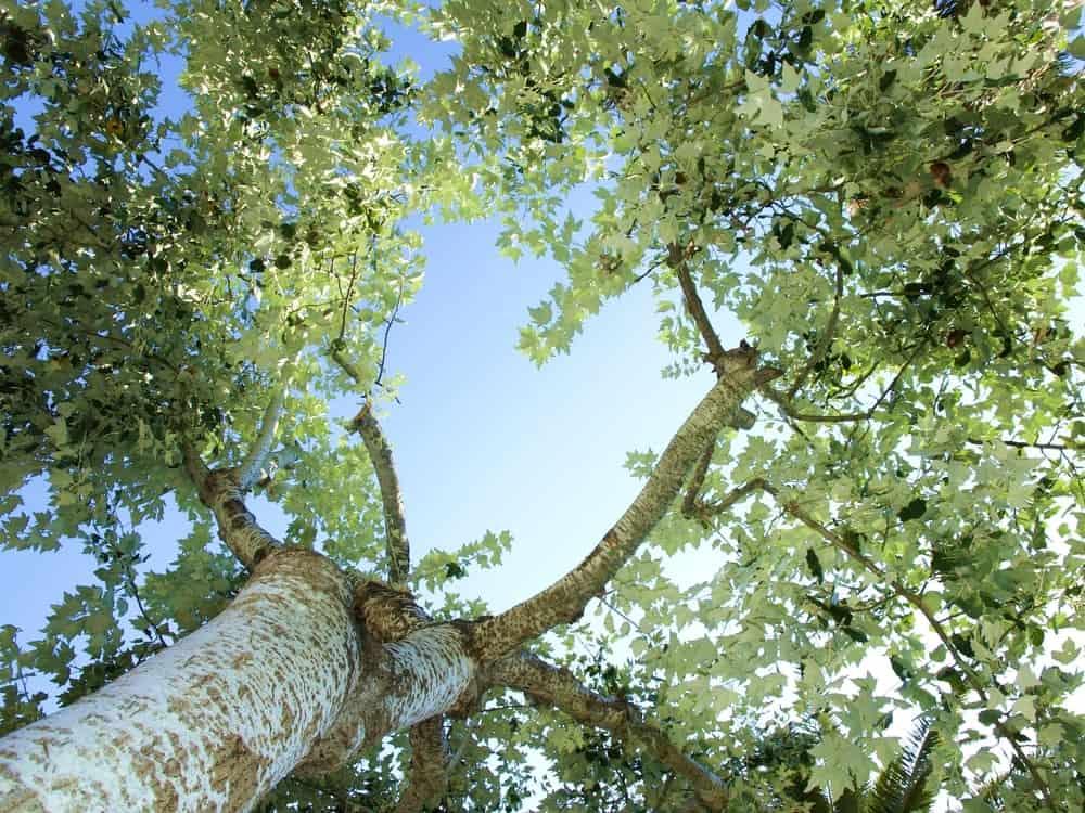 White Poplar tree from below