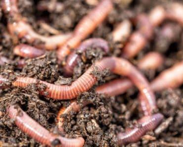 Live worms in soil