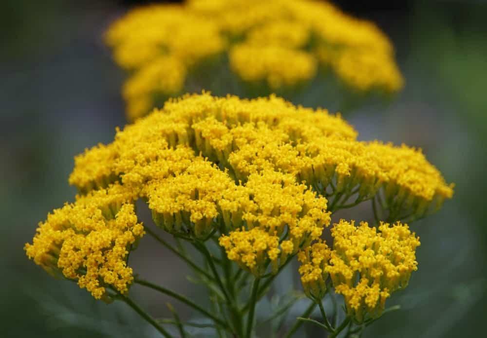 Artemisia flowers