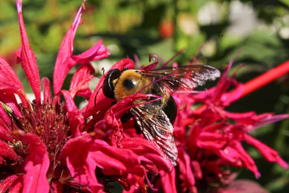 Bumblebee on a Bee Balm Flower.