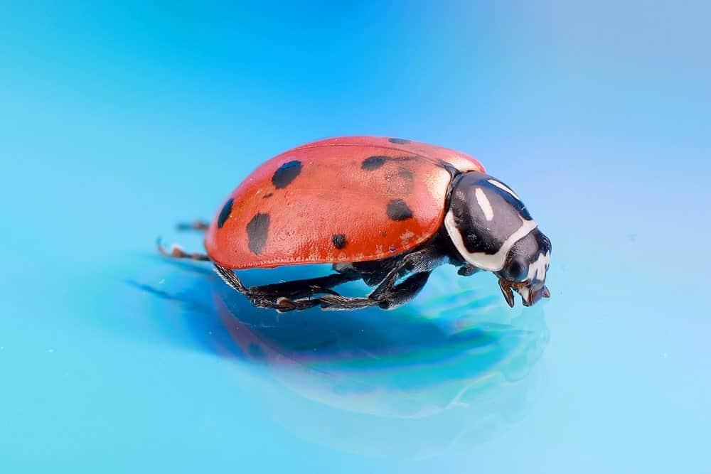 Hippodamia convergens ladybug