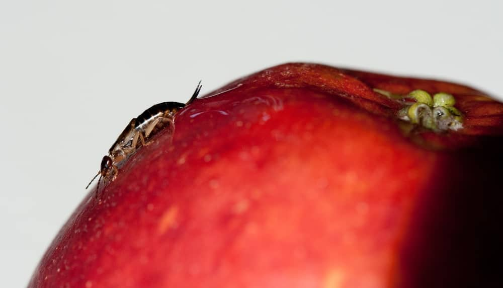 An earwig crawling on a red apple.