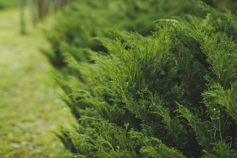 Thuja Koraiensis Nakai foliage