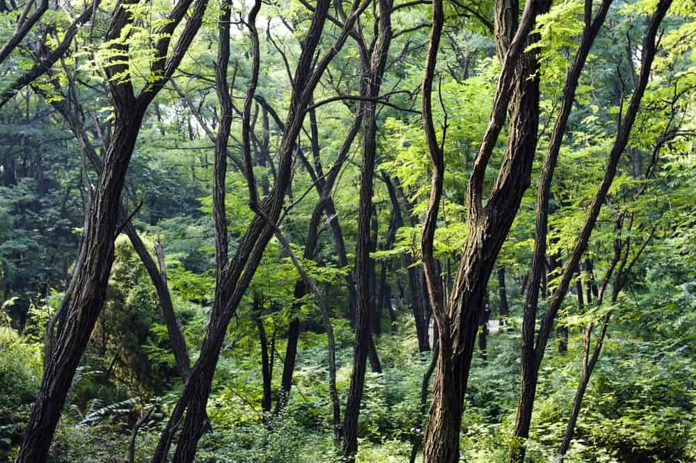 Locust trees in a forest