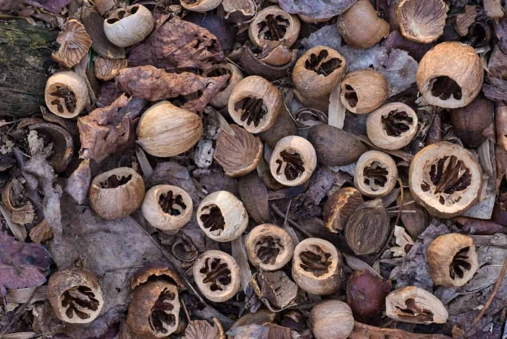 Nuts of a Red Hickory Tree